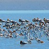 """Hundreds of American Avocets—some actively feeding and others loafing—help illustrate why we call this trip a """"migration spectacle."""" Photo by participant Brian Murphy."""