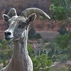 Desert Bighorn Sheep have adapted to desert climates and are able to go without water for extended periods. This ewe photographed by participant Stan Lilley has shorter, less-curved horns than the distinctive rams.