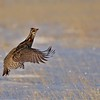 """Next up, let's join our <a href=""""https://fieldguides.com/bird-tours/colorado-grouse/"""" target=""""_blank""""><span class=""""slideshow_tourlink3"""">COLORADO GROUSE</span></a> tour group. Was this Greater Prairie-Chicken jumping for joy to see us? We'll never know, but we were delighted to be back on tour in Colorado! Photo by participant Kevin Watson."""
