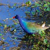 Purple Gallinules are flamboyantly colored, big, and noisy. Their long legs and long toes allow them to quickly move around on shorelines or atop lily pads. They'll also clamber around in marshes, or  sometimes fly short distances with dangly legs. These omnivores will eat frogs, snails, insects, fish, as well as seeds, fruits or leaves of plants. Photo by participant Brian Murphy.