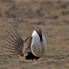 One of the iconic spectacles of the tour is witnessing a displaying Greater Sage-Grouse in all its fancy splendor. Photo by participant Kevin Watson.