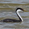 Colorado offers the opportunity to study the differences between Western and Clark's grebes. In this photo of a Western Grebe by participant Stan Lilley, you can see that the red eye is entirely surrounded by a black face, and the bill is a dull yellow with a greenish hue, and relatively thick.
