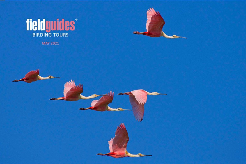 """We can't think of a better image to start off this gallery of tour photos than this magnificent flock of Roseate Spoonbills from the first of our <a href=""""https://fieldguides.com/bird-tours/texas-coast/"""" target=""""_blank""""><span class=""""slideshow_tourlink3"""">TEXAS COAST MIGRATION SPECTACLE</span></a> tours in a photo by participant Brian Murphy."""
