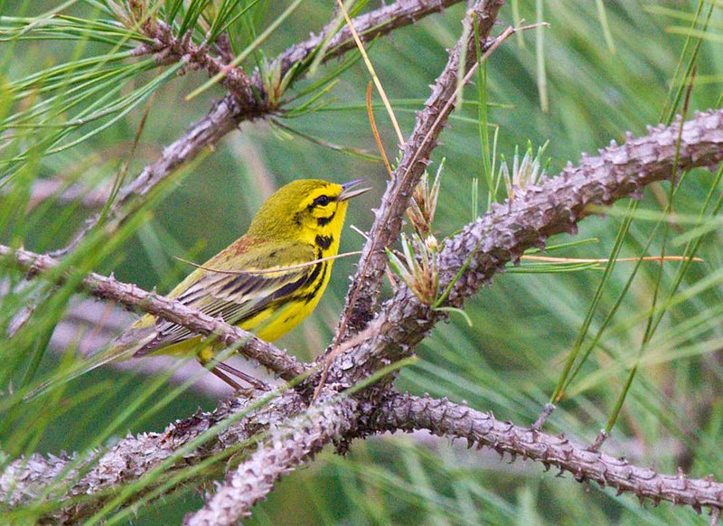 A lovely Prairie Warbler, also by Brian, singing and showing off the rufous streaks on his back.