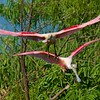 We clearly never tire of good pictures of Roseate Spoonbills! Thanks to participant Brian Murphy for taking so many of them!
