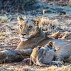 Our group observed about twenty or so Lions on the tour. This mother with her cubs were among the dozen or so found at Masai Mara and were photographed by participant Gregg Recer.
