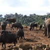 """This group of African Bush Elephants and African Buffalo were seen from the viewing blind at The Ark. Our group encountered hundreds of elephants during the tour, including large bulls, females, tiny babies–and as guide Terry Stevenson put it: """"all just fabulous!"""" Photo by Terry."""