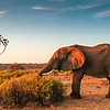 """Welcome to the October 2021 Recent Tour Photos gallery! This iconic image of an African Bush Elephant at dawn comes from our <a target=""""_blank"""" href=""""https://fieldguides.com/bird-tours/kenya-tented-camps/"""" style=""""color: #e35a38""""><b>WILD KENYA: A TENTED CAMP SAFARI</b></a>, our first international destination since the early days of the pandemic. In this month's gallery we will showcase a collection of images from two <a target=""""_blank"""" href=""""https://fieldguides.com/bird-tours/arizona-2/"""" style=""""color: #e35a38""""><b>ARIZONA'S SECOND SPRING</b></a> departures, separated by a block of images from <a target=""""_blank"""" href=""""https://fieldguides.com/bird-tours/alaska/"""" style=""""color: #e35a38""""><b>ALASKA</b></a>, but we'll lead off with a large group of images from the aforementioned  <a target=""""_blank"""" href=""""https://fieldguides.com/bird-tours/kenya-tented-camps/"""" style=""""color: #e35a38""""><b>WILD KENYA: A TENTED CAMP SAFARI</b></a>. We hope you enjoy this month's collection. This photo—as well as many other images from Kenya—was provided by participant Gregg Recer."""