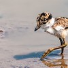 Often it is hard to imagine that a baby shorebird will develop into a striking adult. Such is the case with this young Spur-winged Lapwing. This species is usually found on dry land—though rarely far from water. This youngster doesn't seem to know the routine quite yet. Photo by participant Gregg Recer.