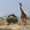 Most everyone knows that Reticulated Giraffes are the tallest land mammal on earth. But did you know that they can run up to 35 m.p.h.? The two horn-like structures atop their heads are called ossicones, and recently scientists have been able to attach solar-powered GPS tracking devices to them, aiding in further study of the movement of this endangered species. This group was seen at Samburu—where we encountered about 90 of them. Photo by guide Terry Stevenson.