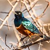 For many birders across the globe, it is hard to imagine finding nine species of Starling—none of which include European Starling! Such is the case in Kenya, where this lovely Superb Starling is the most widespread of its kin. Photo by participant Gregg Recer.