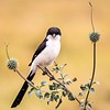 This steely-eyed bird is Long-tailed Fiscal. Fiscals are members of the Shrike family. Similar to other Fiscals within its range, it is easily separated by its larger size. They are typically found in small groups. The tour saw five of them at Nairobi National Park. Photo by participant Gregg Recer.