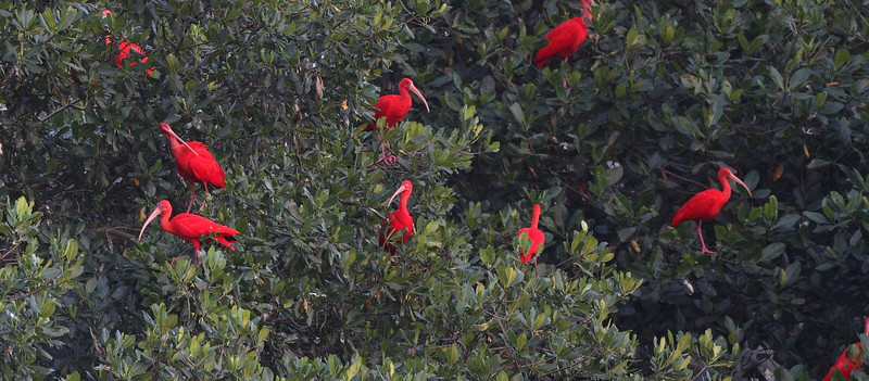Any birding tour to Trinidad of course must include a late-afternoon visit to famous Caroni Swamp to watch the arrival of Scarlet Ibises returning to their roost sites in the mangroves -- here's just a small sample! (Photo by participant Brian Schoeffler)