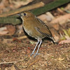 We saw several of the endangered Brown-banded Antpitta at Rio Blanco, thanks to a dedicated worms-to-Antpittas program at this important watershed reserve. (Photo by guide Richard Webster)