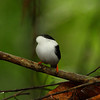 Another great manakin show, this time a male White-bearded just down the trail at Asa Wright Nature Centre (Photo by participant Brian Schoeffler)