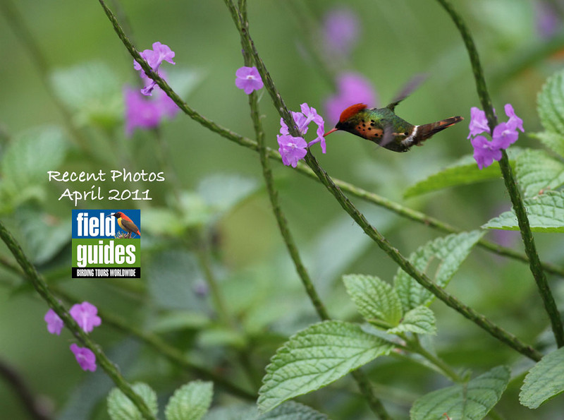 This month we've again got a lot of great photos from guides and participants on recent Field Guides tours--including this lovely one by participant Brian Schoeffler of a Tufted Coquette male feeding in Trinidad...wow! Enjoy the gallery!