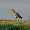 A Bare-throated Tiger-Heron walked brazenly out in the open! (Photo by participant Yvonne Homeyer)