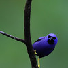 A male Purple Honeycreeper visits the veranda at Asa Wright. (Photo by participant Brian Schoeffler)