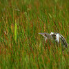 A Pinnated Bittern crouches in a marsh during one of our daytrips out from Asa Wright Nature Centre. (Photo by participant Brian Schoeffler)