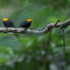 Participant Brian Schoeffler shared with us a fabulous series of his images from the tour: here's a pair of male Golden-headed Manakins on a display branch at Asa Wright.