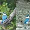 We begin with a Collared Kingfisher at Laem Pak Bia -- first watching carefully from its perch, then snagging a meal from the mud! (Photos by guide Dave Stejskal)