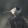 Classic Arizona at any time of year: Cactus Wren (Photo by guide Dave Stejskal)