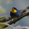 """Considered """"Near Threatened"""" from a conservation standpoint, the Purplish-mantled Tanager is a real beauty. (Photo by participants David & Judy Smith)"""
