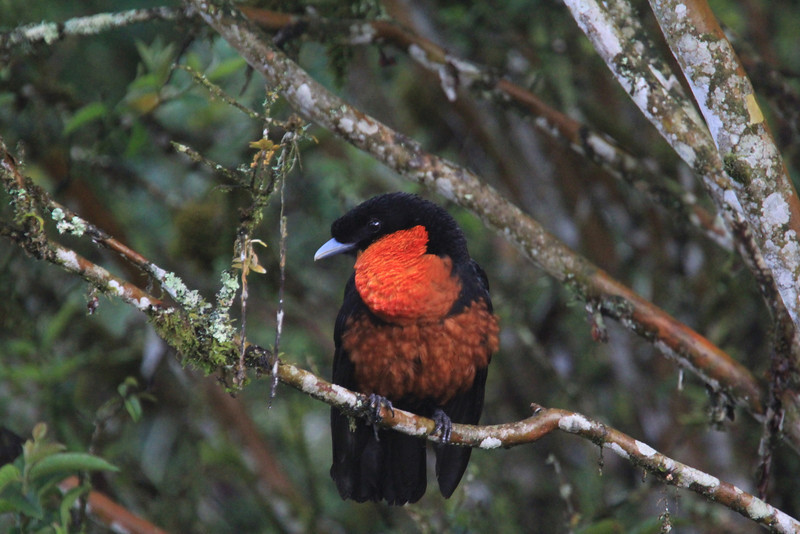 "Red-ruffed Fruitcrow is widespread in South America, but local and found on few tour routes.  Otun-Quimbaya sanctuary in the Central Andes of Colombia is dynamite for them.  This one was ""hunting"" the wily fallen fruit right outside of our rooms. Not a bad ""yard bird""! (Photo by guide Richard Webster)"