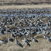 A highlight winter spectacle in AZ is the gathering of thousands of Sandhill Cranes in the Sulphur Springs Valley -- and here are just a few of them! (Photo by guide Dave Stejskal)