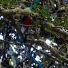 You notice something wafting amongst the branches of a tree and...oh, WOW, it's the long tail-covert plume of a fantastic male Resplendent Quetzal! (Photo by guide Jesse Fagan)