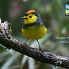 Our cover bird for this month's Recent Photos gallery is the endearing Collared Redstart, photographed by guide Megan Crewe on her recent March Costa Rica tour. We've been receiving some great feedback and wonderful photos in from a big batch of recent Field Guides tours...enjoy the show!