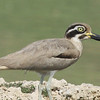 With its huge eye and upturned bill, Great Thick-knee, also widespread across southern Asia, has a striking look. (Photo by participant John Sevenair)