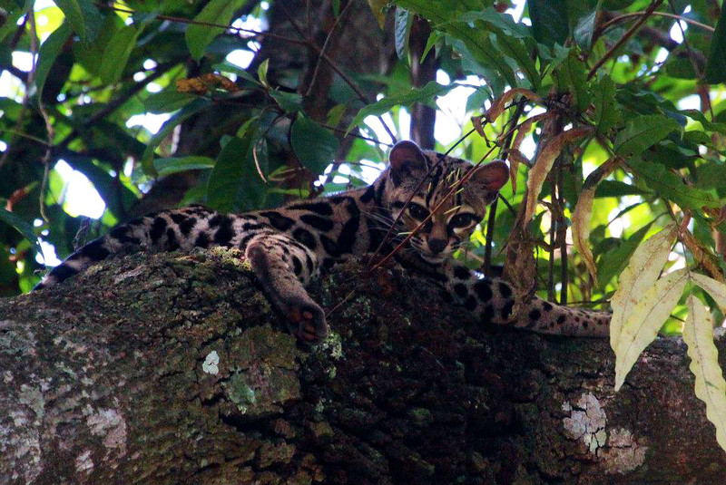 The smallest of tropical cats, Margays live a predominately arboreal life. Looks like this one tried to make a meal of a porcupine (ouch). Next time, perhaps a different choice? (Photo by guide Jesse Fagan)