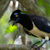The birds near the falls seem to have to vie with the spectacle for attention. We think this Plush-crested Jay is worthy of a little distraction...