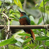 The attractive Coppery-chested Jacamar has a fairly small range in northwestern South America. (Photo by participant Steve Wakeham)