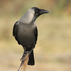 The attractive House Crow ranges widely across southern Asia. (Photo by participant John Sevenair)