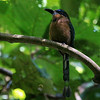 """The Motmot"" (our FG nickname for Jesse) snapped this picture of one of his kin, a much-wanted Keel-billed Motmot."