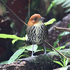 Ecuador, with numerous lodges now attracting birds habituated to approach for earthworms, has become a fantastic antpitta destination. This was another great tour for these lovely birds, one example being this Chestnut-crowned Antpitta. (Photo by participant Steve Wakeham)