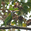 The distinctive calorhynchus subspecies of Groove-billed Toucanet (Photo by participant Sandy Paci)