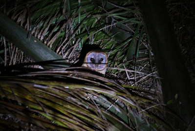 The local variant on the Barn Owl them is the distinctive Ashy-faced Owl, always a prize to see well on this tour, as we did in the spotlight this year. (Photo by guide Jesse Fagan)