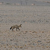 Bat-eared Fox - 1