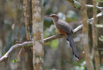 The big cuckoos in the islands (much bigger than our N.A. cuckoos) are some of the most charismatic birds here, with great voices, too. This is the Puerto Rican Lizard-Cuckoo. (Photo by guide Eric Hynes)