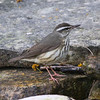 Another early migrant -- Louisiana Waterthrush (Photo by guide Chris Benesh)
