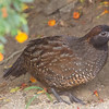 The normally secretive Black-fronted Wood-Quail got a lot easier since they started coming to feed at El Dorado! (Photo by guide Richard Webster)
