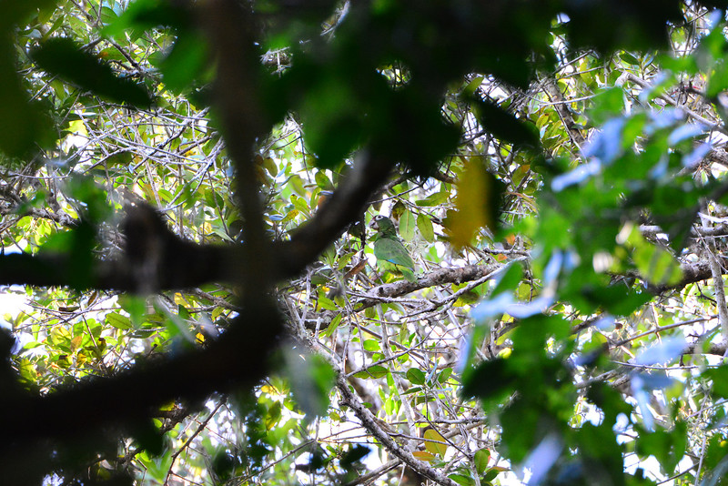 Look in the center of this image, amidst all the greenery: it was a very special thrill for our group and guides this year -- Puerto Rican Parrot! Thanks to some great local intel and help we were able to see this species for the first time on tour and make a clean sweep of the island's endemics! (Photo by participant Brian Stech)