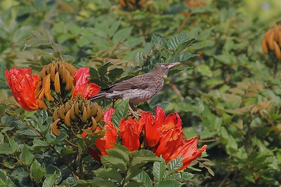 A Pearly-eyed Thrasher sitting atop an African Tulip Tree -- an Antillean endemic in a flashy tree that's been introduced worldwide in the tropics. (Photo by guide Eric Hynes)