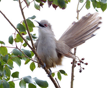 Remember those big cuckoos? Here's the Bahamian version of Great Lizard-Cuckoo giving us the full show! (Photo by guide Jesse Fagan)