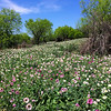 Texas roadsides in spring are blanketed with wildflowers like these prickly poppies. (Photo by guide Chris Benesh)