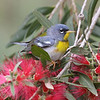 Northern Parula complemented the Tropical Parula we saw equally well. (Photo by guide Chris Benesh)