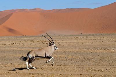 Southern Oryx or Gemsbok - 5 - Version 2